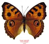 Junonia almana javana (Thailand) A2