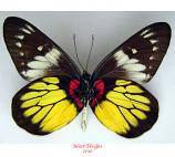 Delias crithoe (Java) A2