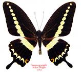 Papilio demolion delostenus (Philippines)