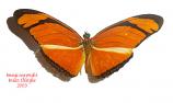 Dryas julia (Peru)