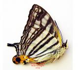 Cyrestis maenalis rotschildi (Philippines)