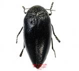 Sternocera orissa luctifera (Tanzania)