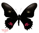 Papilio anchisiades (Peru) A1 and A2