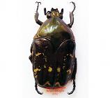 Amithao decemguttata (Ecuador)