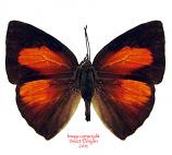 Curetis sp. (Malaysia) A2