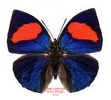 Annagrapha anna (Peru)