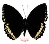 Lexias damalis galea (Philippines)