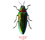 Chrysochroa rajah thailandica (Thailand)