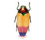 Metaxymorpha apicallis (Aru)