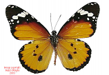 Danaus chrysippus (Philippines)