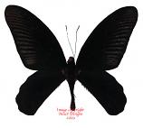 Atrophaneura varuna varuna (Malaysia) A1 and A-