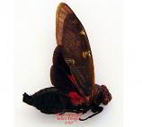 Balinta tenebriscosa (Thailand)