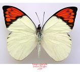 Hebomoia glaucippe aturia (Thailand) A-