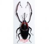 Cyrttotrachelus buqueti (Thailand) A-