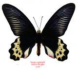 Atrophaneura priapus priapus (Java) A2