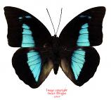 Prepona demophon (Peru)