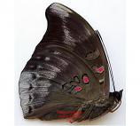 Euthalia evelina eva (Philippines) A- and A2