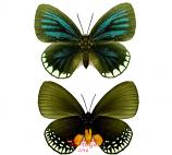 Eumaeus mynias (Peru)