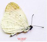 Colotis evanthe (Madagascar) A2