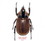 Heterogomphus hirtus (Bolivia)