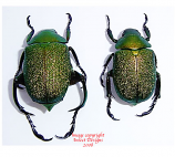 Chrysophora chrysochlora (Peru) - pairs