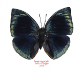 Memphis polyxo (Peru)