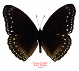 Hypolimnas anomala (Indonesia)