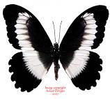 Papilio mechowianus (RCA) A-