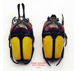 Dicheros bicornis malayanus (Malaysia)