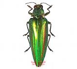 Chrysochroa vittata (Thailand)
