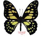 Graphium cyrnus cyrnus (Madagascar) A2