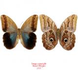 Caligo eurilochus (Peru) A-
