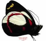 Delias ligata (Weyland) A2