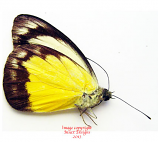 Appias wultraudae (Philippines) A2