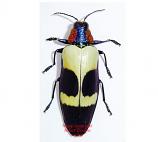 Chrysochroa buqueti (Malaysia)