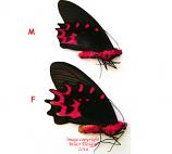 Atrophaneura semperi semperi (Philippines)