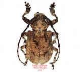 Onychocerus crassus (Peru)