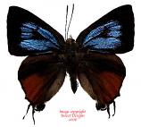 Ramelana davisi (Philippines)