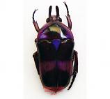 Mystroceros macleayi - purple (Malaysia)