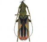 Gnathopraxythea sarryi (Peru)