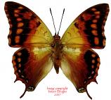 Charaxes candiope (Tanzania) A2