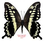 Papilio constantinus (Tanzania) A2