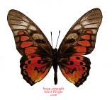 Graphium rydleyanus (RCA) A2