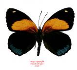 Callicore eunomia (Peru)