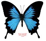 Papilio ulysses ulysses (Ceram)