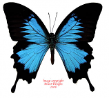 Papilio ulysses ulysses (Ceram) A2
