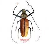 Calliphogon armillatus (Peru)