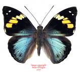 Apaturina erminia (Misool)