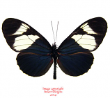 Heliconius eleuchia (Ecuador) A2