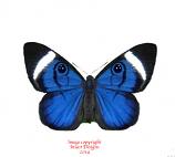 Mesosemia loruhama (Peru) A2
